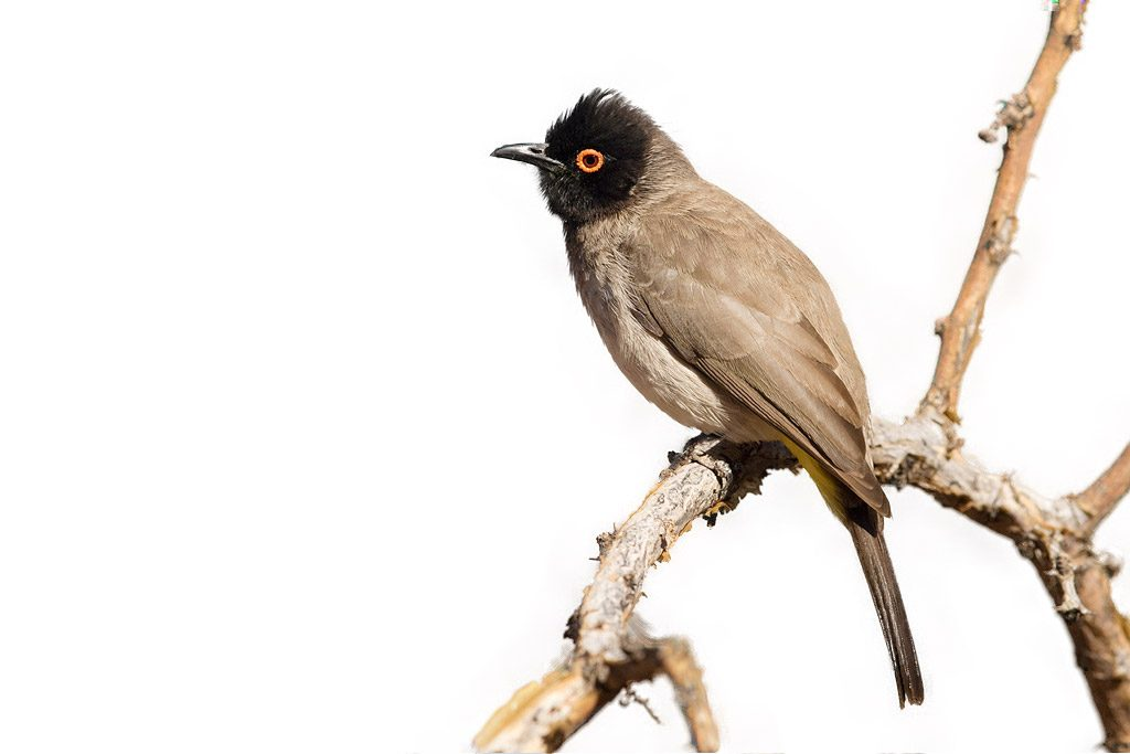 red-eyed-bulbul-tswalu-game-reserve-south-africa-14-june-2015-15
