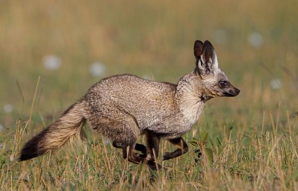 Kenya, Maasai Mara, Bateared Fox